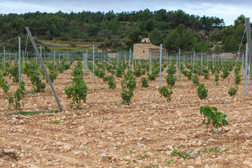 Group of wine vines in the field