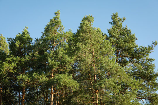 Top of the pine trees against blue sky. Sunny day