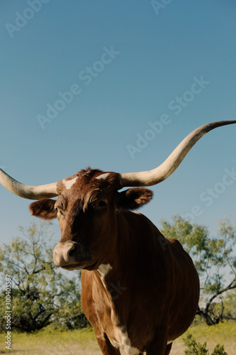 Wall mural Longhorn cow portrait under blue sky with copy space, shows large horns.