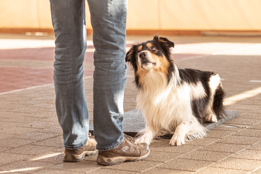 Good attentive Border Collie dog works together with his owner. He is lying obediently on the ground and looks up at his handler.