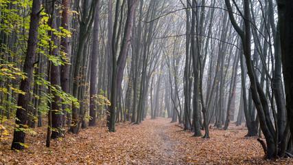 Rezerwat przyrody Las Zwierzyniecki, zamglony las, Białystok, Podlasie, Polska