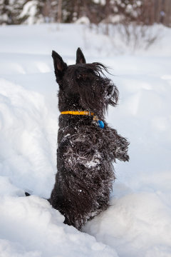 Scottish terrier is posing in a snow