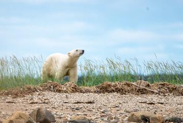 polar bear smelling the air in churchill manitoba