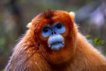 Papiers peints Singe male golden snub nosed monkey