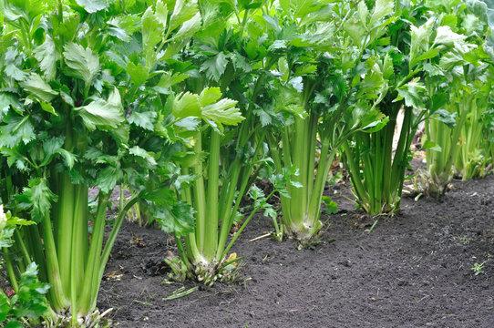 close-up of growing celery plantation (leaf vegetables)  in the vegetable garden