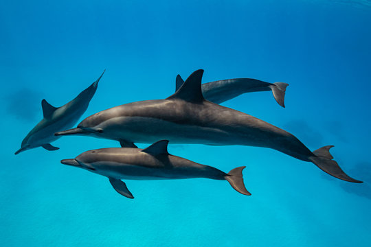pod of Spinner dolphins (Stenella longirorstris) swimming over sand in Sataya reef, Egypt, Red Sea