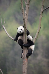 playful giant panda cubs in a tree