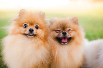 two Zverg Spitz Pomeranian puppies posing on grass