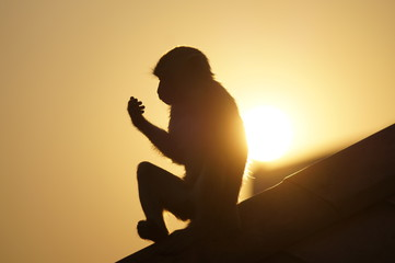 Foto op Aluminium Aap monkey silhouette on a roof with sun