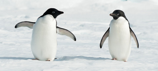 Papiers peints Antarctique Antarctic Adelie penguins