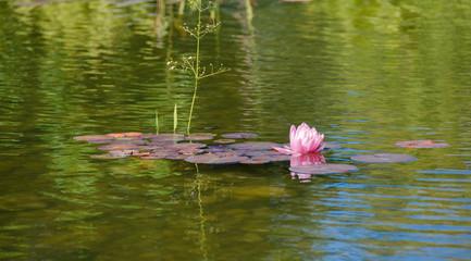 Foto op Canvas Waterlelies Pink Water Lily in Pond