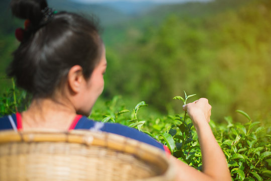 Asian women, hill tribe women collecting tea leaves and baskets at Mae Salong Mountain, Mae Chan, Chiang Rai, Thailand with a background of Choui Fong tea plantation. - Image
