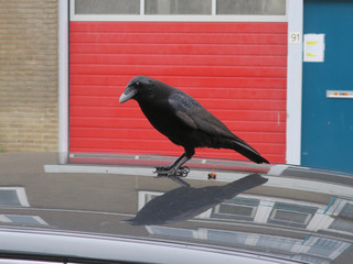 black crow with an orange berry on the roof of a car
