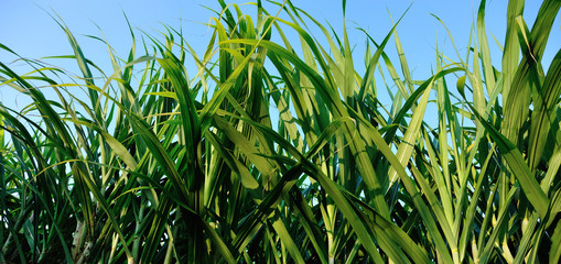 Sugarcane plants growing at field