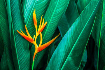 Fotomurales - colorful exotic flower on dark tropical foliage nature background, tropical leaf