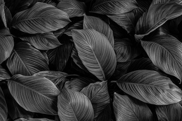 Fotomurales - leaves of Spathiphyllum cannifolium, abstract monochrome texture, nature background, tropical leaf