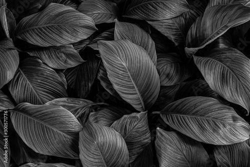 Wall mural leaves of Spathiphyllum cannifolium, abstract monochrome texture, nature background, tropical leaf