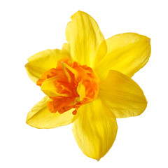 Spoed Fotobehang Narcis Bright yellow-orange daffodil flower isolated on white background.