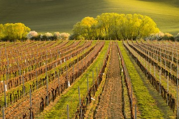Strip of vineyards in spring landscape with trees in background