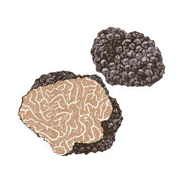 Hand drawn black truffle mushroom