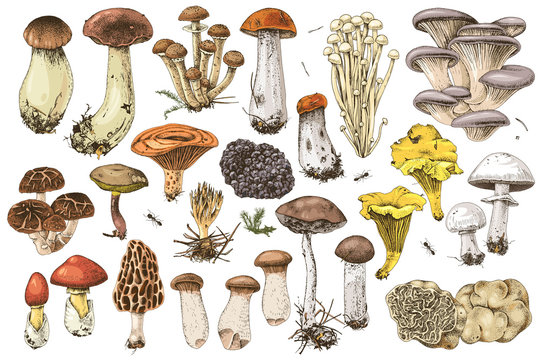 Hand drawn edible mushrooms collection