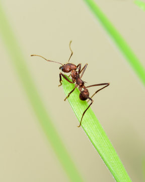 The medium-sized leaf cutter ant Atta cephalotes crawls on a blade of grass to cut it.