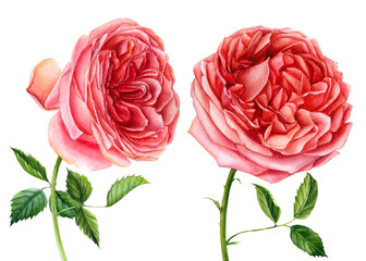 Big set of flowers roses, leaves, bud on an isolated white background, watercolor hand drawing, botanical painting