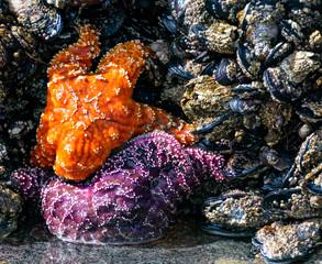 Starfish in Cannon Beach Oregon tidal pools