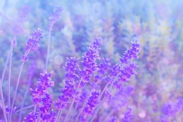 lavendel Blumen im Feld