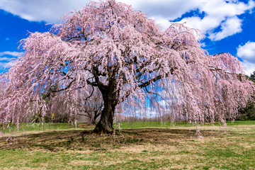 Poster Light pink Cherry tree blooming in the park in Allentown Pennsylvania