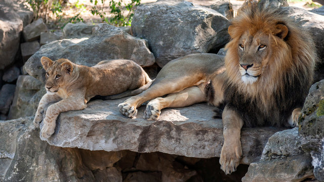 male african lion relaxing with cub