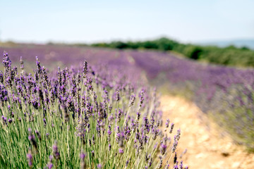 Lavendelfeld im Sommer in der Provence, Frankreich