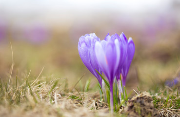 Foto op Plexiglas Krokussen crocus flower on the mountain slopes in spring after snow melts