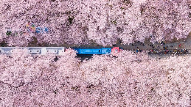 Top view at jinhae cherry blossom,Busan City,South Korea.