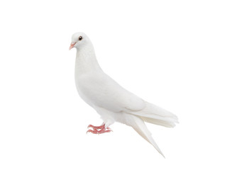 white pigeon isolated on a white background. Fotomurales