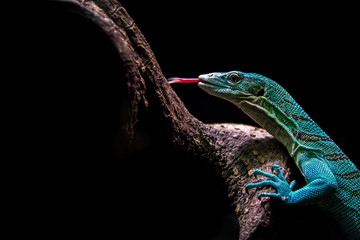 Varanus prasinus lizard climbing a tree with a black background. Lizard, power, color, background and wallpaper concepts.