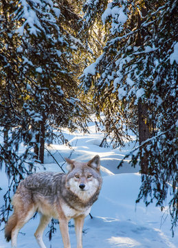 Gray polar wolf stands in the snow