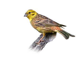 Yellowhammer on white