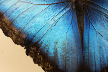 Closeup view of beautiful Blue Morpho butterfly