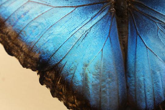 Closeup view of beautiful Blue Morpho butterfly