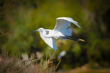 Poster - Little Egret in flight in the wild
