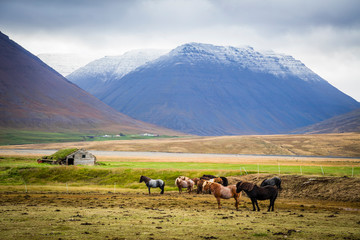 Icelandic ponies (horses) in the countryside in Iceland