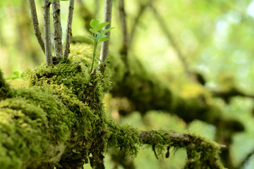 Close up of a mossy branch, young growth and leaf. Blurred green colored background. Spring in the forest.