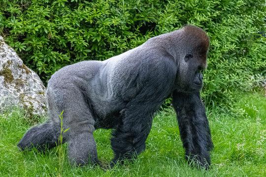 Gorilla, monkey, dominating male walking in the grass, funny attitude
