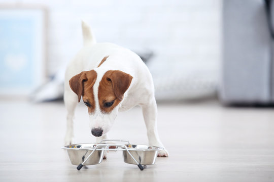 Beautiful Jack Russell Terrier dog eating dry food from bowl