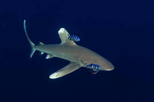 oceanic whitetip shark with a fishing hook with pilot fishes in the deep , Daedalus reef, Red Sea, Egypt
