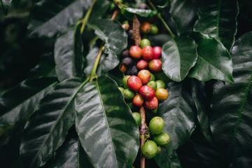 coffee plantation, coffee berries