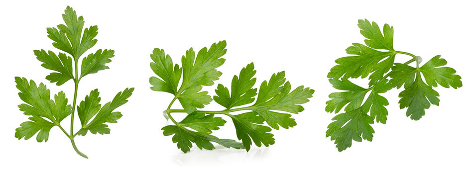 collection of parsley leaves isolated on a white background