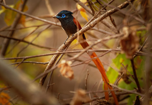 African Paradise-Flycatcher - Terpsiphone viridis a  passerine bird with a very long tail and blue eye in the bush, common resident breeder in Africa south of the Sahara Desert