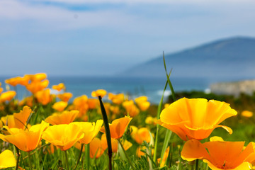 California Poppies On The Coastline